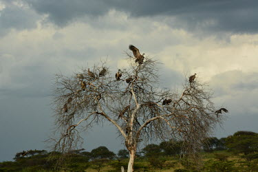 Flock of white-backed vultures gathered on a tree, Africa gathering,Group,many,collection,assemble,numerous,grouping,collective,gather,assembly,gamming,White-backed vulture,Gyps africanus,Accipitridae,Hawks, Eagles, Kites, Harriers,Falconiformes,Hawks Eagles