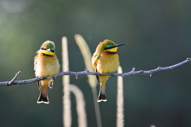 Little bee-eaters perched on a branch, Africa cute,coloration,Colouration,Perching,perched,perch,positive,Green,colours,color,colors,Colour,yellow,Little bee-eater,Merops pusillus,Coraciiformes,Rollers Kingfishers and Allies,Aves,Birds,Bee-eaters