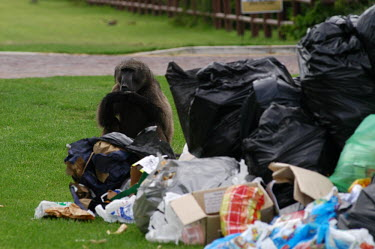 Chacma baboon rummaging through human waste and litter bins Human impact,human influence,anthropogenic,forage,gleaning,glean,Foraging,food,feed,hungry,eat,hunger,Feeding,eating,Urbanisation,Chacma baboon,Papio ursinus,Old World Monkeys,Cercopithecidae,Chordate