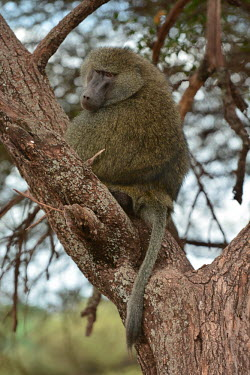 Chacma baboon in a tree, Africa Chacma baboon,Papio ursinus,Old World Monkeys,Cercopithecidae,Chordates,Chordata,Mammalia,Mammals,Primates,Cape baboon,ursinus,Omnivorous,Rock,Appendix II,Least Concern,Africa,Animalia,Arboreal,Papio,