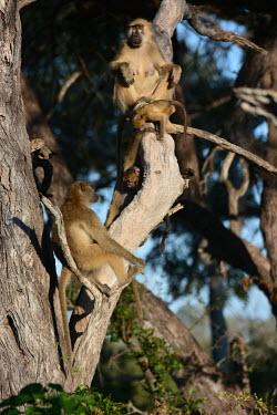 Chacma baboons sat in a tree, Africa Chacma baboon,Papio ursinus,Old World Monkeys,Cercopithecidae,Chordates,Chordata,Mammalia,Mammals,Primates,Cape baboon,ursinus,Omnivorous,Rock,Appendix II,Least Concern,Africa,Animalia,Arboreal,Papio,