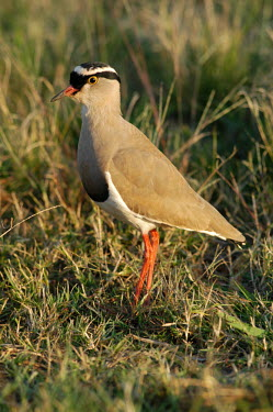 Crowned lapwing in soft light, Africa Crowned Lapwing,Crowned Plover,Animalia,Chordata,Aves,Charadriiformes Charadriidae,Vanellus coronatus
