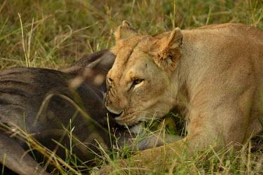 Lioness biting into a blue wildebeest, Africa food,feed,hungry,eat,hunger,Feeding,eating,Killing,prey,preyed,predation,killed,kill,hunt,hunter,stalking,Hunting,stalker,stalk,Lion,Panthera leo,Felidae,Cats,Mammalia,Mammals,Carnivores,Carnivora,Cho