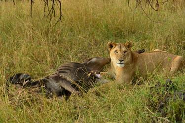 Lioness with a fresh kill of blue wildebeest, Africa predation,hunt,hunter,stalking,Hunting,stalker,hungry,stalk,hunger,Killing,prey,preyed,killed,kill,food,feed,eat,Feeding,eating,Lion,Panthera leo,Felidae,Cats,Mammalia,Mammals,Carnivores,Carnivora,Cho