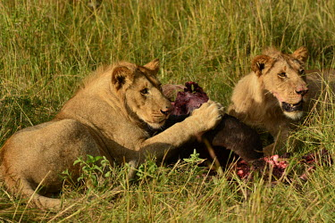 Two young male lions eating a kill, Africa Lion,Panthera leo,Felidae,Cats,Mammalia,Mammals,Carnivores,Carnivora,Chordates,Chordata,Lion d'Afrique,Le�n,leo,Animalia,Savannah,Africa,Scrub,Appendix II,Asia,Panthera,Vulnerable,Desert,Terrestrial,C