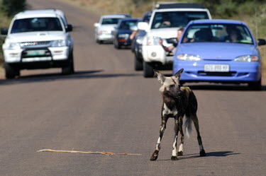 African wild dog in a road filled with traffic cars,roads,highway,motorway,highways,road construction,Road,motorways,car,Habitat fragmentation,Habitat degradation,Urbanisation,expansion,construction,building,Development,Human impact,human influenc