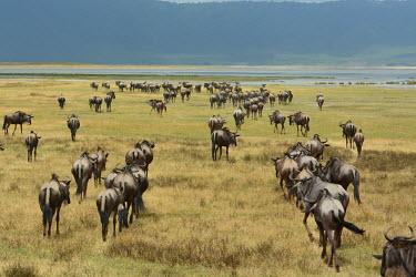 A herd of blue wildebeest heading to water, Africa Blue wildebeest,Connochaetes taurinus,Mammalia,Mammals,Even-toed Ungulates,Artiodactyla,Bovidae,Bison, Cattle, Sheep, Goats, Antelopes,Chordates,Chordata,common wildebeest and brindled gnu,Animalia,Ce