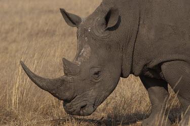 White rhino, Africa rhino,white rhino,rhinos,White rhinoceros,Ceratotherium simum,Rhinocerous,Rhinocerotidae,Perissodactyla,Odd-toed Ungulates,Mammalia,Mammals,Chordates,Chordata,square-lipped rhinoceros,Rinoceronte Blan