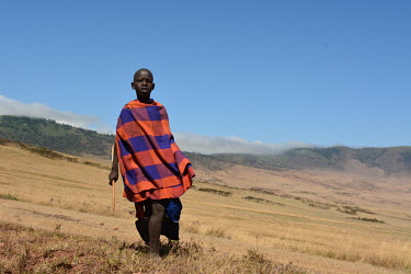A young cattle herder walking alone, Africa Cattle,Bos taurus
