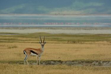 Thomsons gazelle in the African plains environment,ecosystem,Habitat,Terrestrial,ground,Grassland,Wetland,mire,muskeg,peatland,bog,Thomsons gazelle,Eudorcas thomsonii,Bovidae,Bison, Cattle, Sheep, Goats, Antelopes,Even-toed Ungulates,Artio