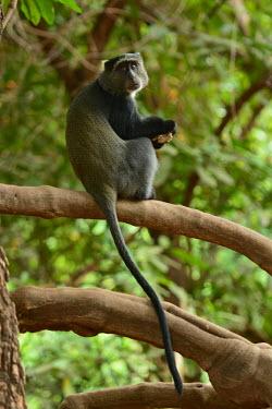 Blue monkey sat in a tree, Africa Blue monkey,Cercopithecus mitis,Primates,Mammalia,Mammals,Old World Monkeys,Cercopithecidae,Chordates,Chordata,Sykes' monkey,golden monkey,diademed monkey,samango,Cercopith�que � Diad�me,Terrestrial,A