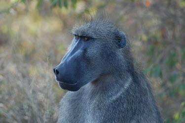 Chacma baboon, Africa Chacma baboon,Papio ursinus,Old World Monkeys,Cercopithecidae,Chordates,Chordata,Mammalia,Mammals,Primates,Cape baboon,ursinus,Omnivorous,Rock,Appendix II,Least Concern,Africa,Animalia,Arboreal,Papio,