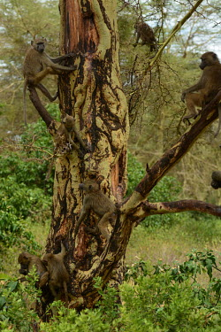 Chacma baboons in a tree, Africa Chacma baboon,Papio ursinus,Old World Monkeys,Cercopithecidae,Chordates,Chordata,Mammalia,Mammals,Primates,Cape baboon,ursinus,Omnivorous,Rock,Appendix II,Least Concern,Africa,Animalia,Arboreal,Papio,