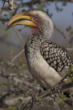 Southern yellow-billed hornbill, Africa coloration,Colouration,colours,color,colors,Colour,Bill,bills,Mouth,mouthpart,mouths,mouthparts,face,yellow,Southern yellow-billed hornbill,Tockus leucomelas,Bucerotidae,Hornbills,Aves,Birds,Coraciifo