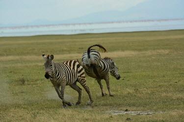 Zebra having a brawl Plains zebra,Equus quagga,Chordates,Chordata,Perissodactyla,Odd-toed Ungulates,Equidae,Horses, Donkeys, Zebras,Mammalia,Mammals,painted zebra,common zebra,Equus burchellii,Burchell's zebra,Least Conce