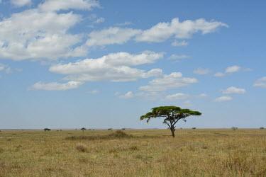 Savannah landscape, Africa wilderness,Landscape,heat,Hot,blue skies,sunny,Blue sky,bright,environment,ecosystem,Habitat,Grassland,Sky,Terrestrial,ground,arid,drought,waterless,no water,dried up,barren,baked,Dry,parched,moisture