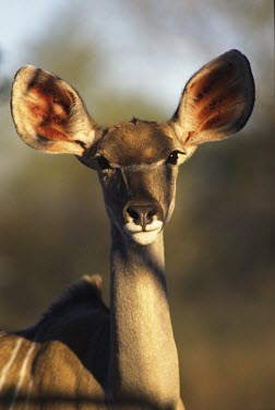 Greater kudu, Africa ear,Ears,Close up,Portrait,face picture,face shot,face,blur,selective focus,blurry,depth of field,Shallow focus,blurred,soft focus,Greater kudu,Tragelaphus strepsiceros,Bovidae,Bison, Cattle, Sheep, G