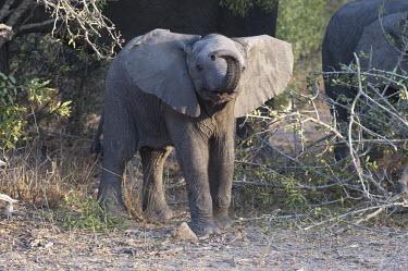 An elephant calf trumpeting its trunk, Africa African elephant,Loxodonta africana,Elephants,Elephantidae,Chordates,Chordata,Elephants, Mammoths, Mastodons,Proboscidea,Mammalia,Mammals,savanna elephant,Loxodonta africana africana,�l�phant d'Afriqu