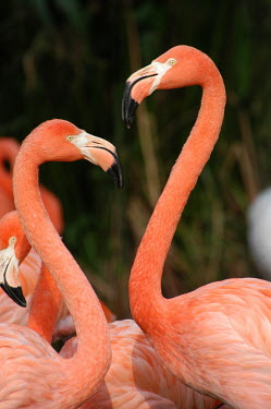 Brightly coloured Caribbean flamingos coloration,Colouration,pink,Plumage,plumes,plume,blur,selective focus,blurry,depth of field,Shallow focus,blurred,soft focus,feathers,Feather,colours,color,colors,Colour,Caribbean flamingo,Phoenicopte