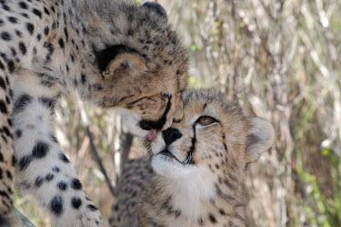 Cheetah grooming another, Africa romantic,valentine,romance,kissing,couple,valentines,kisses,Kiss,love,partners,cute,positive,friendly,Friendship,friend,friends,Cheetah,Acinonyx jubatus,Chordates,Chordata,Carnivores,Carnivora,Mammali