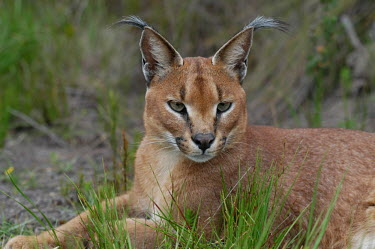 Portrait of a caracal, Africa Close up,blur,selective focus,blurry,depth of field,Shallow focus,blurred,soft focus,ear,Ears,face,Portrait,face picture,face shot,Caracal,Caracal caracal,Felidae,Cats,Carnivores,Carnivora,Mammalia,Ma