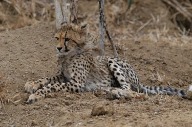 A young cheetah resting, Africa coloration,Colouration,patterns,patterned,Pattern,cute,savannahs,savana,savannas,shrubland,savannah,Savanna,Juvenile,immature,child,children,baby,infants,infant,young,babies,Grassland,positive,hidden,