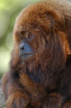Common woolly monkey photographed in 'Africa Monkey Land' Portrait,face picture,face shot,Close up,Facial portrait,face,blur,selective focus,blurry,depth of field,Shallow focus,blurred,soft focus,Common woolly monkey,Lagothrix lagotricha,Primates,Chordates,C