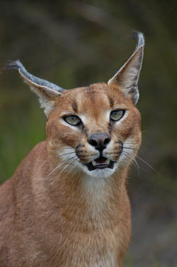 Portrait of a caracal, Africa blur,selective focus,blurry,depth of field,Shallow focus,blurred,soft focus,ear,Ears,face,Portrait,face picture,face shot,Close up,Caracal,Caracal caracal,Felidae,Cats,Carnivores,Carnivora,Mammalia,Ma