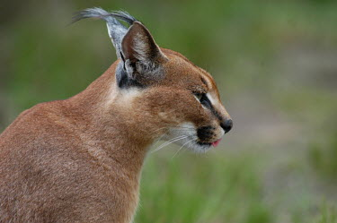 Portrait of a caracal, Africa blur,selective focus,blurry,depth of field,Shallow focus,blurred,soft focus,Portrait,face picture,face shot,ear,Ears,Close up,face,Caracal,Caracal caracal,Felidae,Cats,Carnivores,Carnivora,Mammalia,Ma