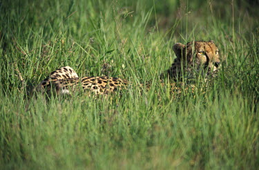 Cheetah lying in grass, Africa environment,ecosystem,Habitat,coloration,Colouration,hidden,crypsis,Camouflage,camo,disguise,disguised,camouflaged,patterns,patterned,Pattern,Green background,Terrestrial,ground,Grassland,Grass,spotty