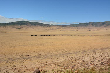 Cattle herders trailing across arid land, Africa heat,Hot,wilderness,Landscape,Grassland,Terrestrial,ground,farm animal,Livestock,arid,drought,waterless,no water,dried up,barren,baked,Dry,parched,moistureless,environment,ecosystem,Habitat,Sky,blue s