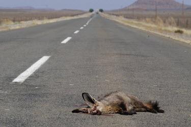 Bat-eared fox killed in a road traffic collision, Africa Habitat degradation,Stage,Habitat fragmentation,Urbanisation,Dead,Human impact,human influence,anthropogenic,scraps,meat,decaying,decayed,Carrion,decay,Bat-eared fox,Otocyon megalotis,Mammalia,Mammals