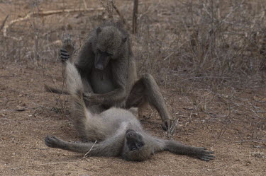 Chacma baboon grooming another baboon, Africa Chacma baboon,Papio ursinus,Old World Monkeys,Cercopithecidae,Chordates,Chordata,Mammalia,Mammals,Primates,Cape baboon,ursinus,Omnivorous,Rock,Appendix II,Least Concern,Africa,Animalia,Arboreal,Papio,