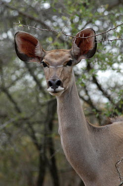 Greater kudu, Africa Portrait,face picture,face shot,ear,Ears,face,Greater kudu,Tragelaphus strepsiceros,Bovidae,Bison, Cattle, Sheep, Goats, Antelopes,Chordates,Chordata,Even-toed Ungulates,Artiodactyla,Mammalia,Mammals,