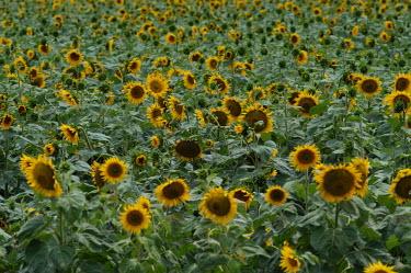 Sunflower field in Africa plantation,yellow,Farmland,farms,farming,farmlands,farm,environment,ecosystem,Habitat,Arable,agricultural,arable land,Agriculture,Human impact,human influence,anthropogenic,farmed land,farm land,farml