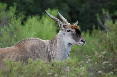 Common eland in tall vegetation Common eland,Tragelaphus oryx,Chordates,Chordata,Mammalia,Mammals,Bovidae,Bison, Cattle, Sheep, Goats, Antelopes,Africa,Least Concern,Tragelaphus,Semi-desert,Terrestrial,Animalia,Desert,Herbivorous,Sa