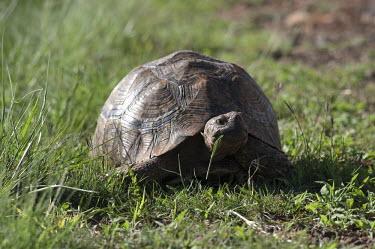 Tortoise chewing grass, Africa food,feed,hungry,eat,hunger,Feeding,eating,grazes,graze,grazers,grazer,Grazing,tortoise,Animalia,Chordata,Reptilia,Testudines,Testudinidae