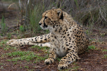 Cheetah in Tenikwa Wildlife Sanctuary, Africa coloration,Colouration,resting,rested,rest,patterns,patterned,Pattern,spotty,spot,Spots,spotted,Cheetah,Acinonyx jubatus,Chordates,Chordata,Carnivores,Carnivora,Mammalia,Mammals,Felidae,Cats,Gu�pard,C