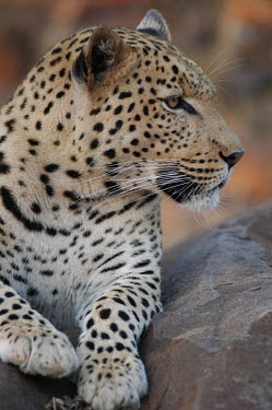 Leopard resting on a rock blur,selective focus,blurry,depth of field,Shallow focus,blurred,soft focus,spotty,spot,Spots,spotted,patterns,patterned,Pattern,Portrait,face picture,face shot,coloration,Colouration,resting,rested,r