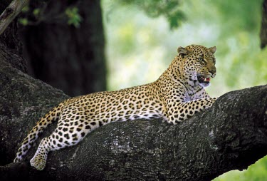 Leopard lounging in a tree, Africa spotty,spot,Spots,spotted,relax,Relaxed,chilled,chill,easy going,content,blur,selective focus,blurry,depth of field,Shallow focus,blurred,soft focus,Portrait,face picture,face shot,coloration,Colourat