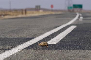 A tortoise making the perilous decision to cross the road, Africa Habitat fragmentation,Urbanisation,Habitat degradation,Human impact,human influence,anthropogenic,tortoise,Animalia,Chordata,Reptilia,Testudines,Testudinidae