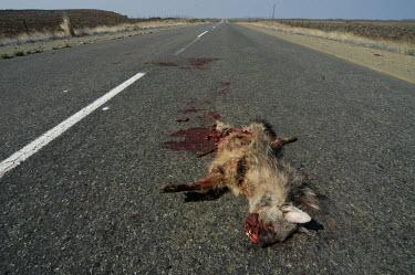 Bat-eared fox killed in a road traffic collision, Africa Human impact,human influence,anthropogenic,Dead,Habitat fragmentation,scraps,meat,decaying,decayed,Carrion,decay,Stage,Habitat degradation,Urbanisation,Bat-eared fox,Otocyon megalotis,Mammalia,Mammals