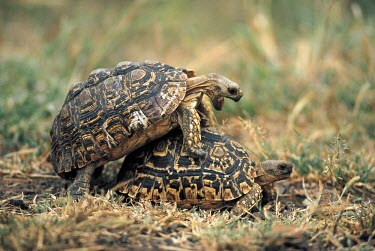 Two leopard tortoise potentially about to mate, Africa coitus,mate,intimate,mating,reproduce,fornication,fornicate,breeding,romantic,copulating,Sex,intercourse,romance,copulate,bond,bonding,Love,friendly,Friendship,friend,friends,Affection,affectionate,va