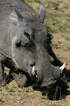 Close up of a common warthog, Africa Tusks,tusk,Common warthog,Phacochoerus africanus,Mammalia,Mammals,Chordates,Chordata,Suidae,Hogs and Pigs,Even-toed Ungulates,Artiodactyla,Eritrean warthog,warthog,Phacoch�re Commun,Phacochoerus,Least
