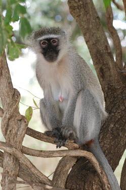 Vervet monkey sat in a tree, Africa Vervet,Chlorocebus pygerythrus,Primates,Chordates,Chordata,Old World Monkeys,Cercopithecidae,Mammalia,Mammals,Chlorocebus aethiops pygerythrus,vervet monkey,Cercopithecus pygerythrus,Cercopithecus aet