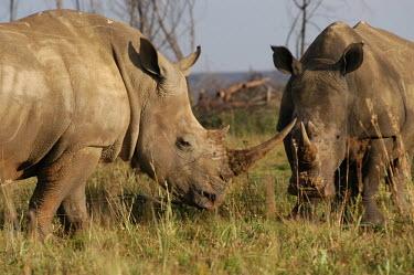 Two white rhinos grazing, Africa environment,ecosystem,Habitat,Grassland,savannahs,savana,savannas,shrubland,savannah,Savanna,arid,drought,waterless,no water,dried up,barren,baked,Dry,parched,moistureless,Terrestrial,ground,rhino,rhi