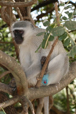 Vervet monkey sat in a tree, Africa colours,color,colors,Colour,azul,Blue,coloration,Colouration,Vervet,Chlorocebus pygerythrus,Primates,Chordates,Chordata,Old World Monkeys,Cercopithecidae,Mammalia,Mammals,Chlorocebus aethiops pygeryth
