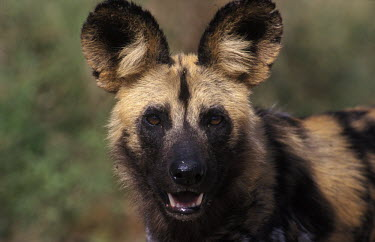 African wild dog Portrait,face picture,face shot,Close up,Looking at camera,African wild dog,Lycaon pictus,Carnivores,Carnivora,Mammalia,Mammals,Chordates,Chordata,Dog, Coyote, Wolf, Fox,Canidae,painted hunting dog,Ca