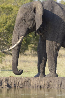 African elephant Tusks,tusk,African elephant,Loxodonta africana,Elephants,Elephantidae,Chordates,Chordata,Elephants, Mammoths, Mastodons,Proboscidea,Mammalia,Mammals,savanna elephant,Loxodonta africana africana,�l�pha