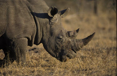 Black rhinoceros grazing, Africa savannahs,savana,savannas,shrubland,savannah,Savanna,Terrestrial,ground,environment,ecosystem,Habitat,arid,drought,waterless,no water,dried up,barren,baked,Dry,parched,moistureless,Horn,horns,Grasslan